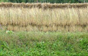 北信濃  令和3年 無農薬飯山米玄米25kg こしひかり 食味検査最高ランク【S】(0)