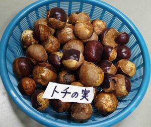 長野産 令和3年度産 天然トチの実1kg500円 大小混合 採取してから少し乾燥(5)