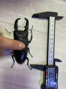 超大型血統 パラワン パラワンオオヒラタ 幼虫4頭セット ♂太顎血統106.4mm×♀大型血統53.9mm プリンカップ マット発送