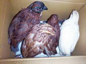 色変わりコリンウズラの種卵8個 コリン鶉 コリンうずら ボブホワイト 有精卵