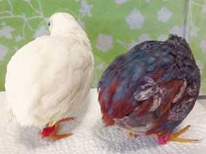色変わり姫ウズラの種卵8個 姫うずら 姫鶉 ヒメウズラ ヒメうずら ヒメ鶉 有精卵