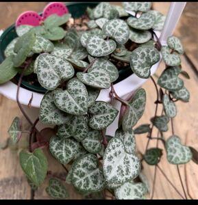 【ラブチェーン】ハートカズラ☆10センチほどにカットして5本送ります☆匿名配送☆おまけ付き☆観葉植物