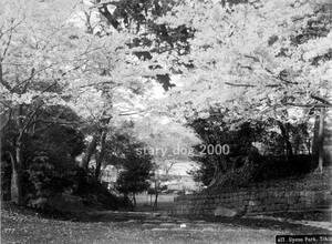 複製復刻 絵葉書/古写真 東京 上野公園と不忍池 横浜写真 明治期 Y_018 (桜 花見