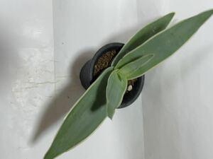 多肉植物 アロエ 属  ストリアータ