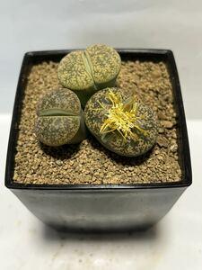 多肉植物 メセン科 リトープス(A)