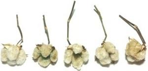 綿 綿花 コットン 緑 枝つき ドライフラワー 5個セット 花材/アレンジ/リース/ハンドメイド