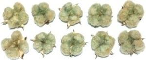 綿 綿花 コットン 緑 ドライフラワー 10個セット 花材/アレンジ/リース/ハンドメイド