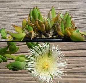 種子 スケレティウム リギダム Sceletium rigidum 15粒/秋型メセン/塊根