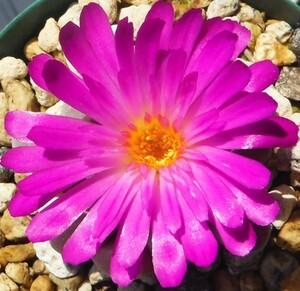 種子 フリチア 光玉 Frithia pulchra 10粒/メセン/珍種