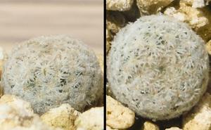 種子 マミラリア ヘルモサナ Mammillaria hermosana 5粒/サボテン/小型白色球体