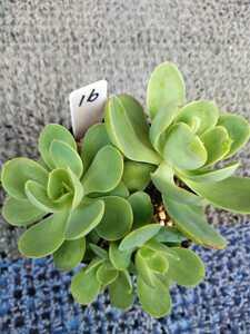 多肉植物 ピーチプリデ (16)抜き苗 根付き