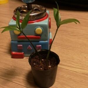 【成長後写真付き】根付き苗 ナギの木