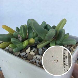 多肉植物 メセン Argyroderma Brevipes 薔薇玉 種子10粒 アルギロデルマ ブレビペス バラ玉