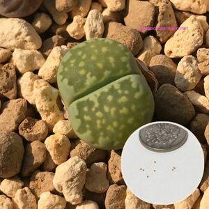 多肉植物 リトープス 種子10粒 李夫人 Lithops salicola
