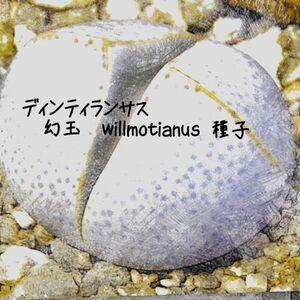 多肉植物 メセン 種子10粒 デ ィンテランサス 幻玉 Dinteranthus willmotianus  種子のまき方の 説明書付き