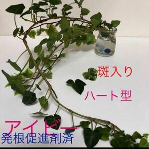 アイビー2種  ハート型 斑入り 50センチ程度 1本 20セン3本カット 発根促進剤メデネール処理済