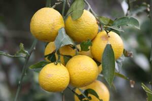 果物 黄色 果実 柑橘 WEB素材 画像 写真 データ 撮影 2