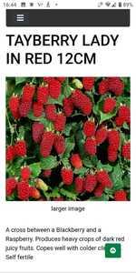 タイベリー ラズベリー、ブラックベリー、苗、果樹、ボイセンベリー、ベリー、ブルーベリー