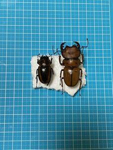 昆虫標本 メンガタクワガタペア