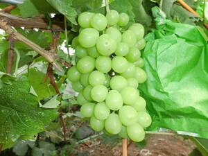 信州からの贈物 人気葡萄シャインマスカット1、7キロ 2房