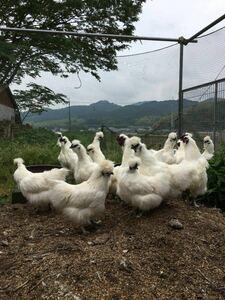 平飼い烏骨鶏の有精卵5個  期間限定値引き