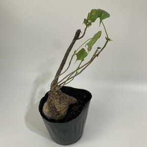 Sterculia Colorata スタークリアコロラータ 塊根
