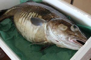 北海道産生真鱈(タラ)(メス)4kg前後(1尾)〔B〕北港直販〔代引き不可〕たら