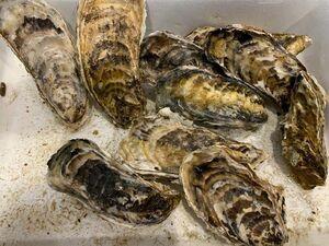 〔特大サイズ〕北海道産殻付き生牡蛎(かき)10個(1個200g前後)〔B〕北港直販☆かき〔代引き不可〕〔着日指定に対応できない場合有〕