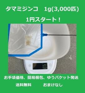 【1円スタート】 タマミジンコ 1g (約3,000匹) 【送料込・匿名配送】簡易梱包、ゆうパケット発送