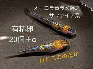 【静楽庵血統】オーロラ 黄ラメ 幹之 サファイア系 有精卵 20個+α メダカ めだか はとこのめだか