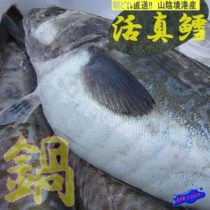 白子・肝入り!!「yo真鱈 1尾3.6kg」雄 (活冷凍) 鮮度抜群!!  『魚王国』山陰境港!!