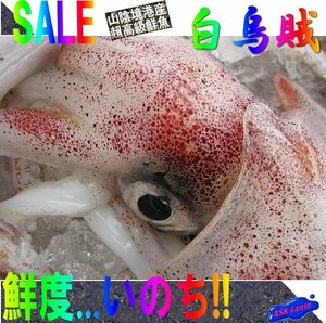 人気NO1の「n白烏賊14尾位で4kg」箱売り、お刺身用(剣先)美しい釣り物です。