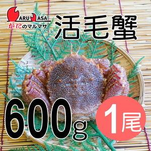 【かにのマルマサ】活蟹専門店 北海道産特大活毛ガニ600g 1尾セット