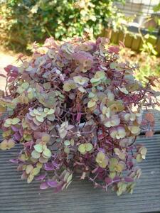 多肉植物 桜色カリシア カット苗 30本  観葉植物 おまけ5カット