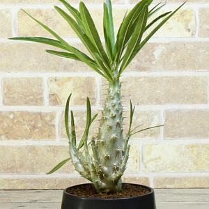 【パキポディウム】 グラキリス 4号 45 PP Pachypodium rosulatum var. gracilius (ロスラーツム 塊根植物 caudex コーデックス)