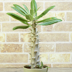 【パキポディウム】 ホロンベンセ 3号 10 PP Pachypodium horombense (塊根植物・塊茎植物 caudex コーデックス)