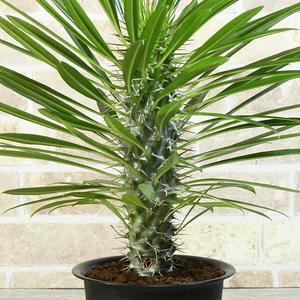 訳あり【パキポディウム】 ラメリー 4号 16 PP Pachypodium lamerei (塊根植物 塊茎植物 caudex コーデックス)