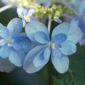 【八重咲】 ヤマアジサイ 剣の舞 庭木 宿根草 山野草