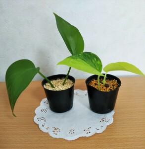 ポトス パーフェクトグリーン & ライム 観葉植物