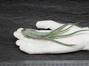 Tillandsia paucifolia Mexican チランジア・パウシフォリア メキシカン★エアプランツTI★第四種送料無料★税別1円~!!