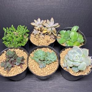 [たにさぼLaBo]多肉植物6個まとめ売り!9センチのビニール鉢ごとの販売/若緑・秋麗・子宝・エケベリア種など
