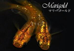 [まりもめだか]広島プロショップ め組 マリーゴールド めだかの卵10個+α 有精卵 メダカの卵 ヒカリ めだか メダカ卵 めだか卵 夜桜 鉢