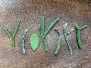 観葉植物 リプサリス カット 苗 セット