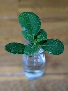 観葉植物 パンダガジュマル カット 苗 発根済