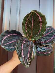 観葉植物、カラテア(送料無料) ドッティ 5