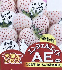 白イチゴ 苗