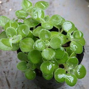 現品「アロマティカス」シソ科 芳香性ハーブ 多肉植物