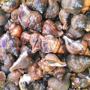 送料無料 ヒメエゾボラ 4kg青ツブ貝 漁師直送品 生出荷 お刺身 甘煮 焼いたりと美味です。唾液腺を除去可能な方のみに販売です宮城県産