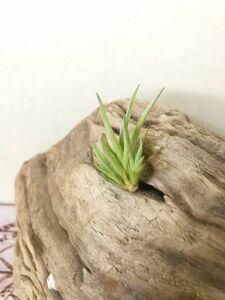 【Frontier Plants】チランジア・アルゲンティナ T.argentina エアープランツ