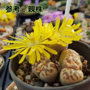 今期収穫 種子10粒 リトープス 麗虹玉 多肉植物 実生用